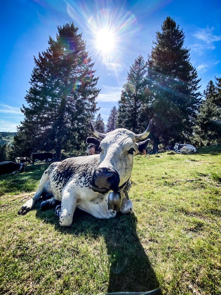 Une belle habitante (vache) qui profite des bords du lac des Truites / Crédit photo - Pierrick Aubert